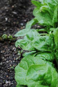 Orto e spinaci