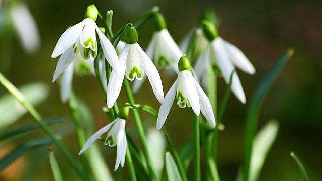 Frühblüher läuten den Frühling ein. Die frühblühenden Zwiebelpflanzen treiben aus, sobald es ein paar milde Tage gibt. Als erste Frühblüher zeigen sich die Schneeglöckchen, gefolgt von Krokussen, Märzenbechern, Hyazinthen, Narzissen und Tulpen. Ei...