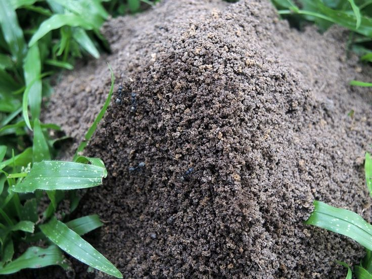 CONTROLLING ANT HILLS USING DIATOMACEOUS EARTH (CRAWLING