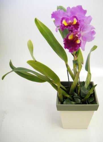 Catleia: Com uma grande oferta de opções de cores, esta orquídea atinge de 30 a 50 cm de altura. Geralmente, floresce uma vez ao ano, dando cerca de duas a quatro flores que duram em média 15 dias. Deve ficar à meia-sombra, evitando o sol direto entre 11h e 14h.   A rega depende do substrato que vem no vaso: casca de madeira absorve mais rápido a água, pedindo regas mais frequentes; já se for um musgo, fibra de coco ou xaxim, ela pode ser mais espaçada, em torno de uma vez por semana. Para…