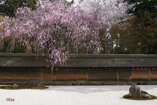 龍安寺 石庭と桜。 The rock garden and cherry blossom.