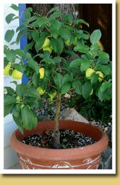 Patio fruit trees, suitable for growing in pots