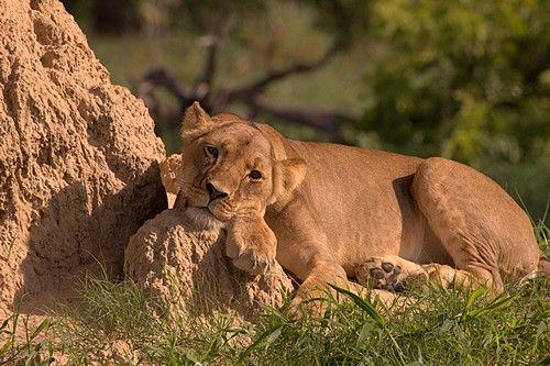 Friday feeling? Lion at Linkwasha #Hwange #Zimbabwe #safari