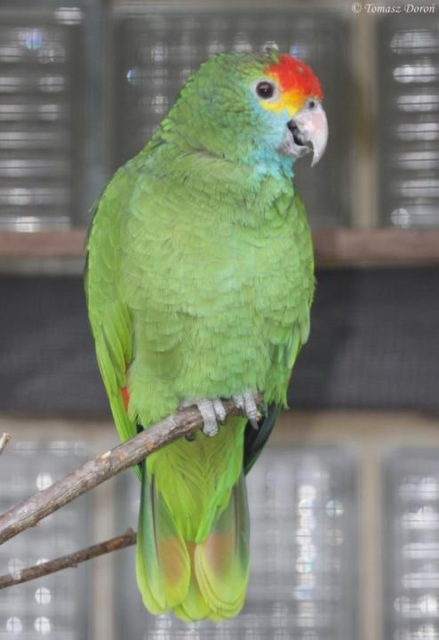 Red-browed Amazon (Amazona Dufresniana  rhodocorytha) An adult bird.