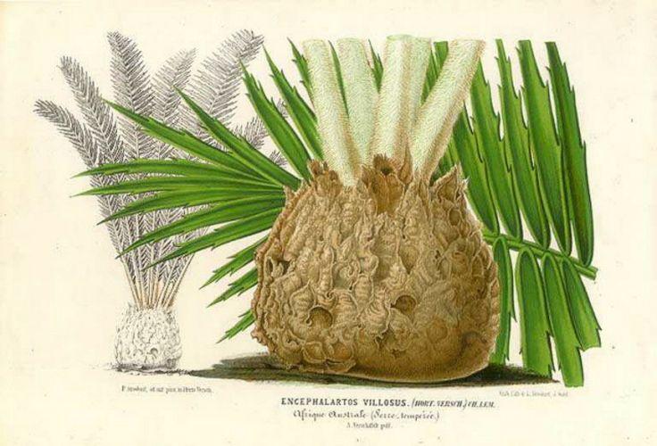 Encephalartos villosus illustration - Date unknown