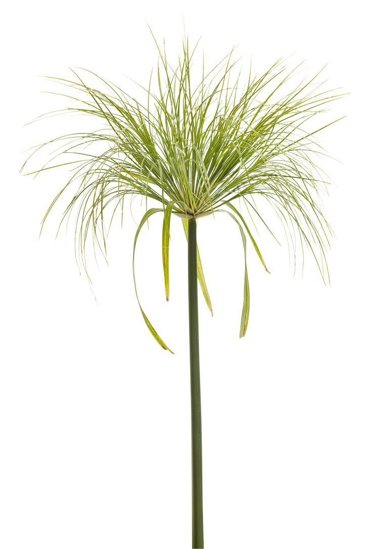 Graceful Grasses® King Tut® - Egyptian Papyrus - Cyperus papyrus | Proven Winners