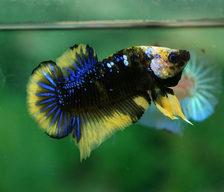109 best images about exotic bettas on pinterest auction for Exotic koi fish