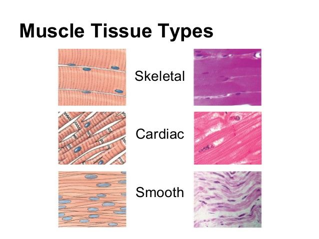 Muscle tissue is elongated, stimulated to contract, and vascular (needs a lot of blood supply for energy). There are three types as depicted in the image: skeletal - striated, cylindrical, multi-nucleiated, and the biggest cell of the three types. Cardiac - striated, branched, 1-2 nuclei, has intercalated discs, and are the second biggest. Intercalated discs have desmosomes and gap junctions for molecule and liquid transport. Smooth - nonstriated, spindle shaped, 1 nuclei, and are the…
