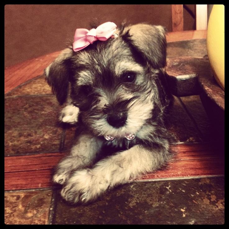My beautiful Chlöe! #Schnauzer #puppy #cute
