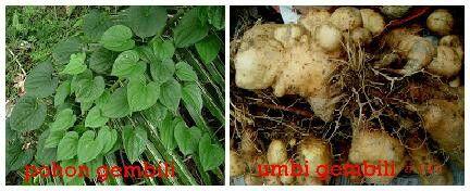 Tepung Gembili Gembili (di Jawa disebut Mbili), merupakan umbi-umbian yang mulai langka juga. Menurut penelitian, gembili ini mempunyai kandungan tepung dan pati tertinggi bila dibandingkan dengan umbi-umbian yang lain.