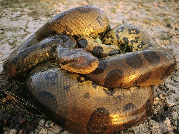 Anacondas are scary