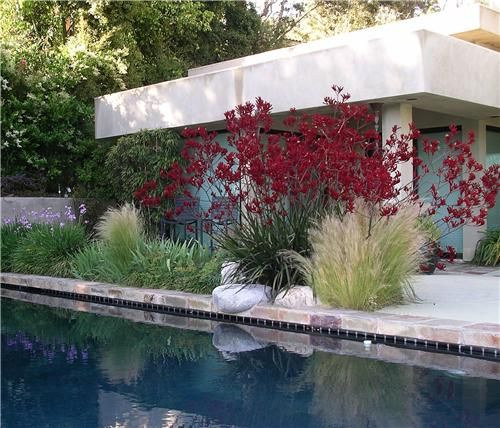 Red kangaroo paws provide a burst of poolside color in this modern landscape.