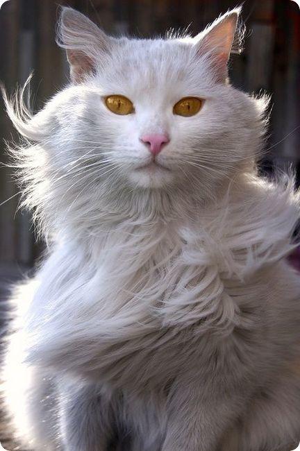 chat angora turc blanc dans vent