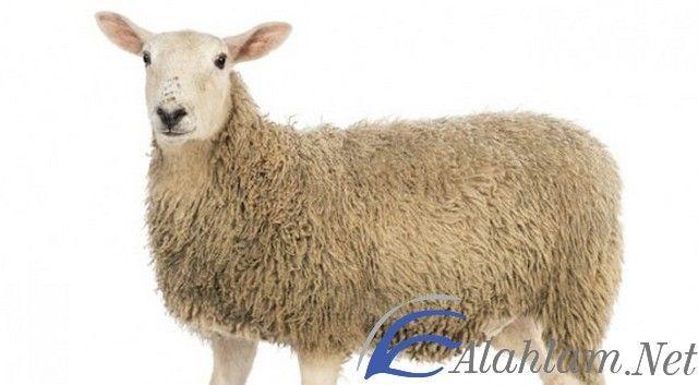 تفسير رؤية حلم النعجة في المنام ابن سيرين النعجة النعجة في الحلم النعجة في المنام Animals Lamb