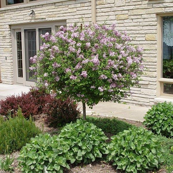 25 b sta dwarf lilac tree id erna p pinterest for Dwarf decorative trees