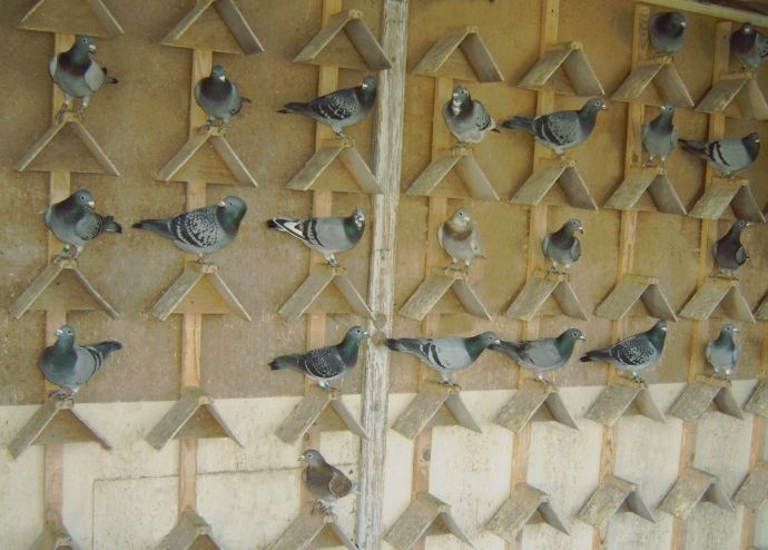 Schaschkow pigeons - loft