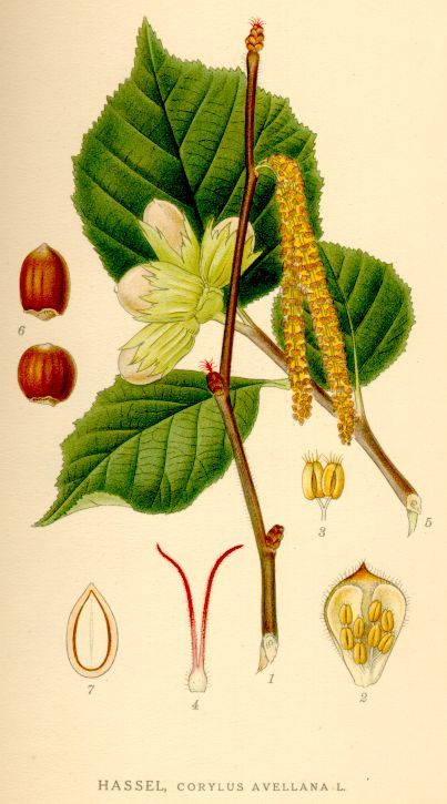 Viele Mythen und Legenden ranken sich um die Haselsträucher. Neben ihren Nüssen kannst du aber auch Blüten, Blätter und Rinde für deine Gesundheit nutzen.