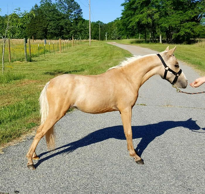 ASPC/AMHR Shetland Golden Palomino 2016 Show Mare AMHR FUTURITY NOMINATED! Sired by AMHR National GRAND Champion Humhills Bacardi on the Rocks this golden girl is ready to win for you! She has an awesome hook to her neck and shows. Offered by Mini Horse Sales