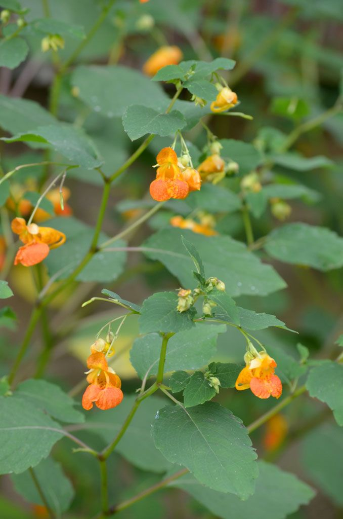 Impatiens capensis - Spotted Touch-me-not: Available at Prairie Moon Nursery