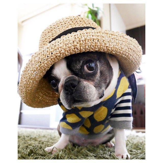 """244 Likes, 55 Comments - Yosi (@yosi6) on Instagram: """"love JILL* ジルにお留守番してもらって梅田へ✨ 可愛い麦わら帽子に出会っちゃった♡ ジルもなかなか似合うね #bostonterrier #bostagram #buhi #dog…"""""""