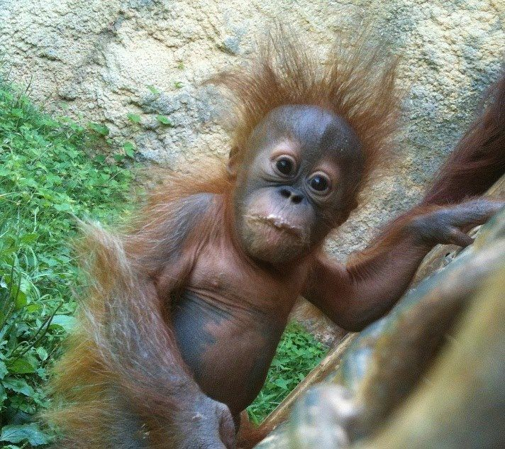 I want one … Baby Orang