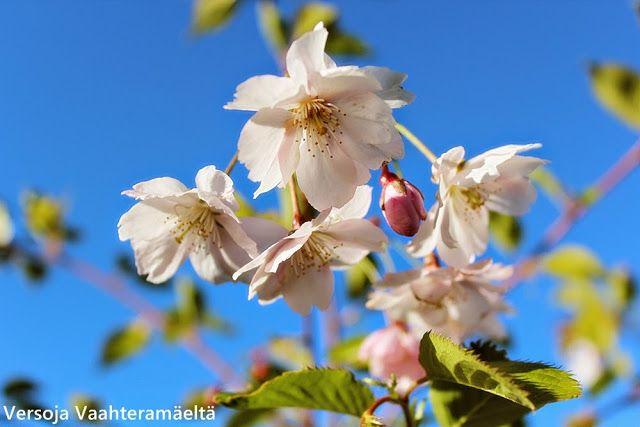 Versoja Vaahteramäeltä: koristekirsikka kevätsuudelma Prunus ´Accolade`
