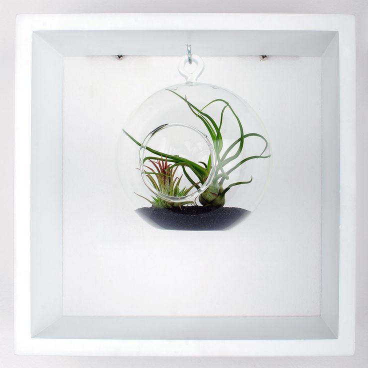 Framed airplant terrarium. Decorate your walls with this minimalist framed terrarium or just let it live on your desk. Airplants included. https://www.etsy.com/shop/Aerium