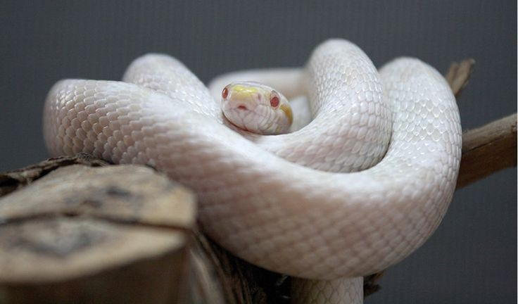 classic corn snake - photo #44