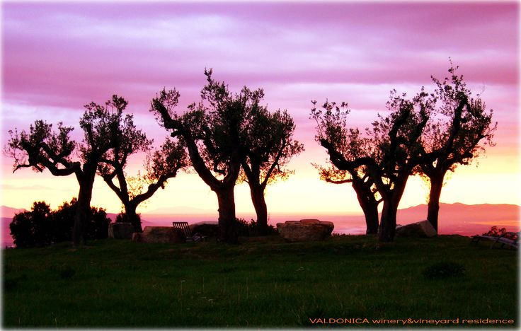 The circle of tree olives. Magnificent sunset: a contact between humankind and the fullness of nature. Dani - Valdonica social media menager.