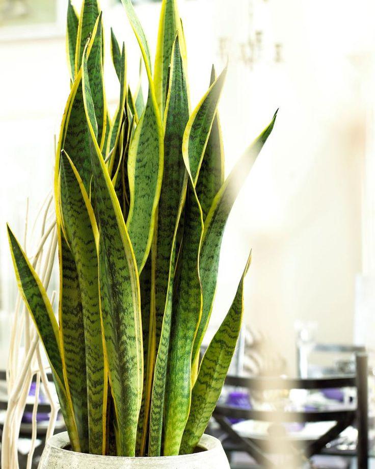 8 ijzersterke kamerplanten