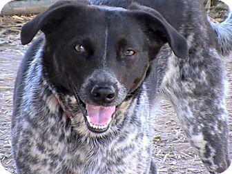 Hagerstown, MD - Australian Cattle Dog/Mountain Cur Mix. Meet Anna George, a dog for adoption. http://www.adoptapet.com/pet/17948578-hagerstown-maryland-australian-cattle-dog-mix