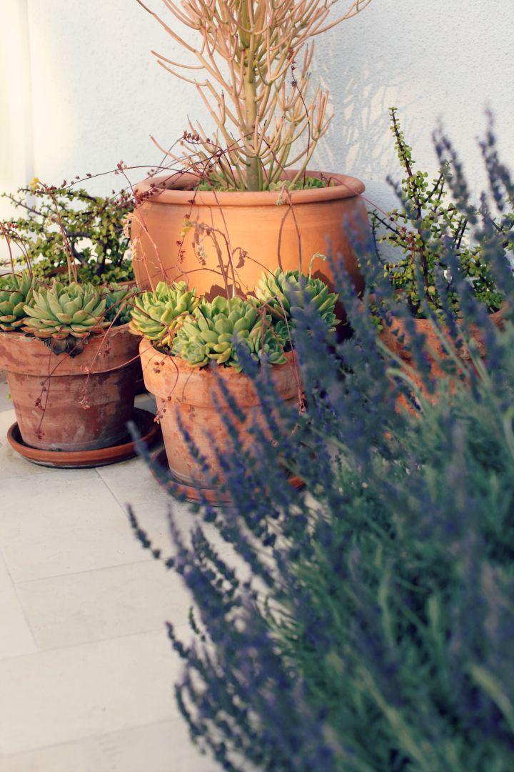 succulent arrangement, lavender, terracotta pots