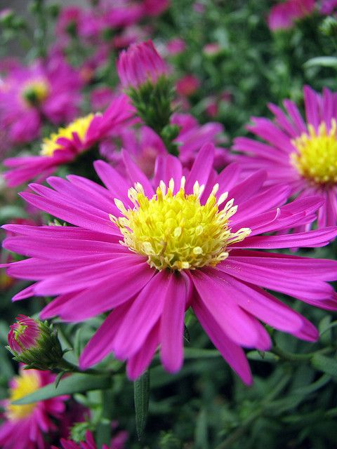 21 Best September Birth Flower Quot Aster Quot Images On Pinterest Beautiful Flowers Pretty Flowers