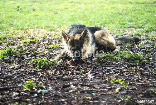 """""""German shepherd dog"""" creata da morgan capasso"""