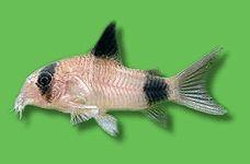 AQUARIUM GUIDE - Fische - Südamerika - Welse - Panda-Panzerwels - Corydoras panda