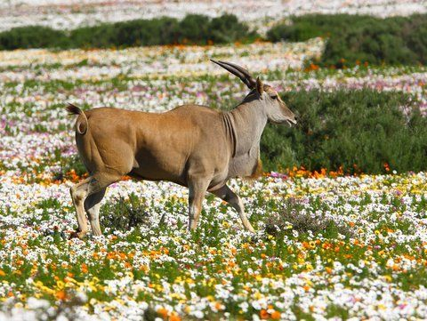 Eland and wildflowers in the Postberg section of West Coast National Park by Adam Riley