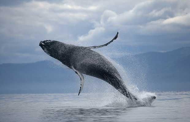 majestic whales can be spotted thrashing around in NB's tidal Bay of Fundy
