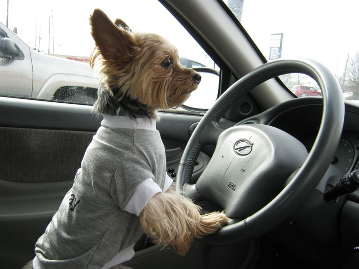 Move over I'm driving | Yorkie's Rule