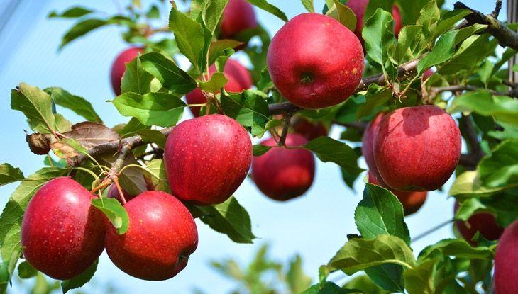 Как заготавливали яблоки сто лет назад: шесть простых рецептов | Публикации…