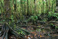 La costa pacífica se caracteriza por sus bosques de manglar.
