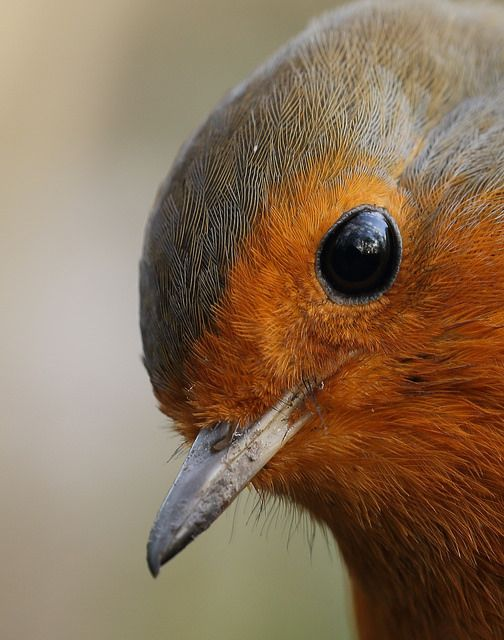 European Robin..up close to this sweet face