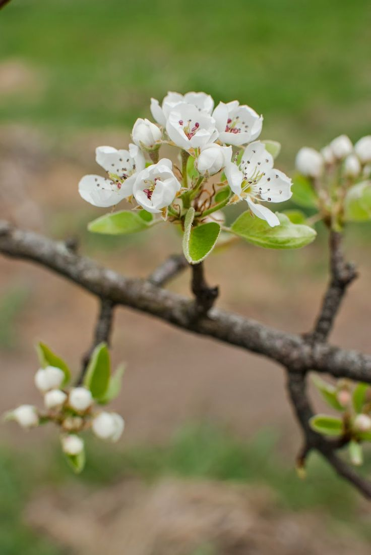 A körtefa virágai, Zöld kert: Pénteki képözön