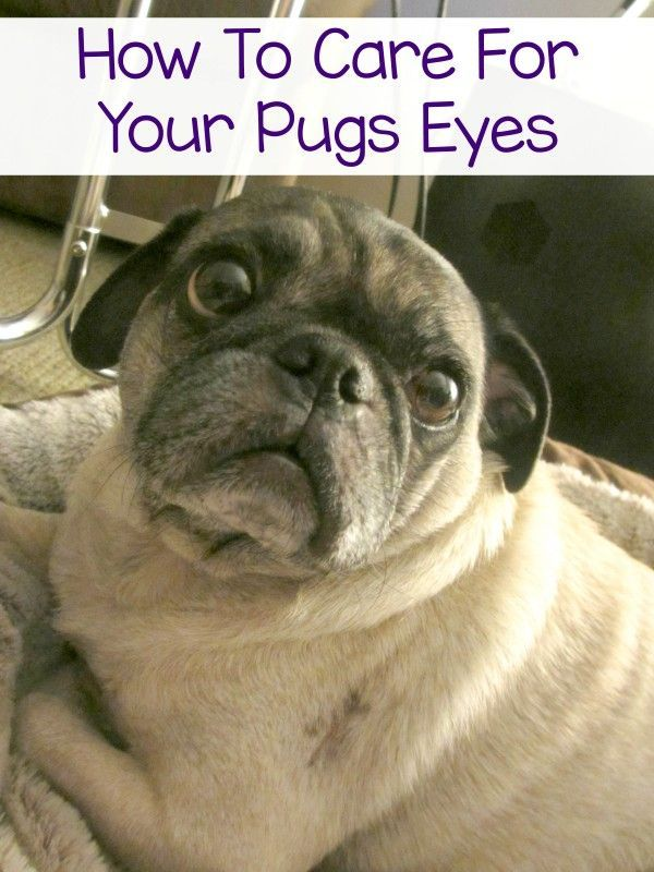 Those pug puppy dog eyes are cute but they need to be cared for - come find out how I care for my pugs eyes.  | pug care | pug health