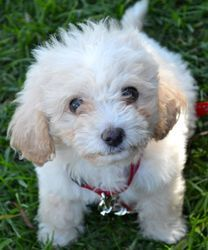 Gus is an adoptable Maltese Dog in Los Angeles, CA. ***COURTESY POSTING FOR ELOISE RESCUE*** Gus is an adorable and fluffy little Maltipoo puppy. He is 7 weeks old and just as cute as a button. Gus lo...