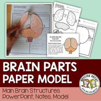 Science Interactive Notebook - Nervous System Parts of the Brain Paper Model. Delve into the function of the two hemispheres of the cerebrum, the cerebellum, and the workings of the brainstem (including the midbrain, pons, and medulla). This product includes: 6 animated PowerPoint slides containing notes Brain cut out Note sheet Answer key embedded in the PowerPoint.What students will do: Create an interactive brain flipbook showing how the parts of the brain are organized.