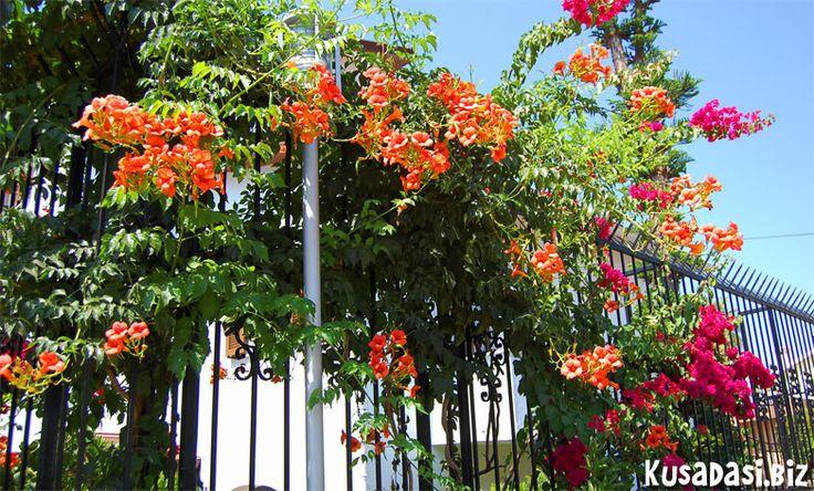 Flowers in Guzelcamli.