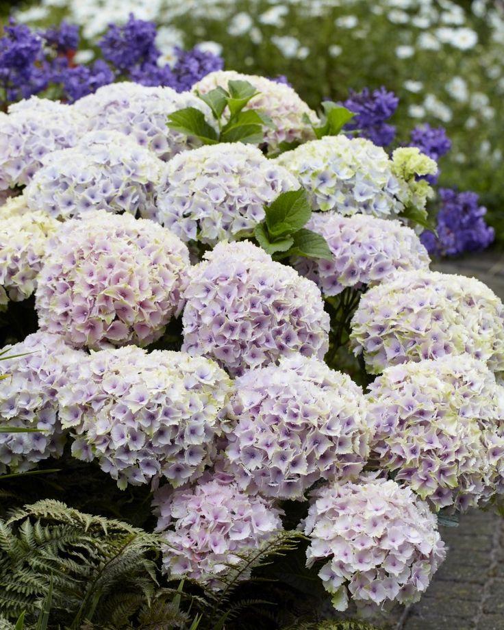 Plant Hydrangeas: 37 Best Everlasting (R) Hydrangeas Images On Pinterest