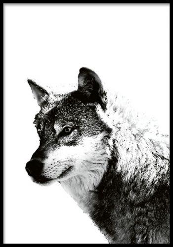 Poster med varg, fint till skandinavisk inredning. Tavla med svartvitt print av en varg. Ett mycket kraftfullt motiv som skapar känsla åt rummet. Vi har  fler vackra prints av djur i svartvitt under kategorin Insekter & djur.