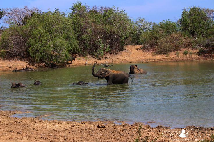 The Yala elephants