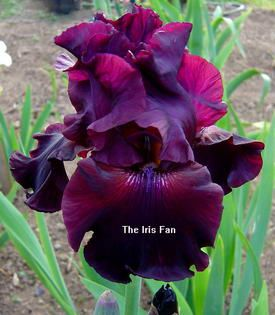 Google Image Result for http://theirisfan.com/irises/m/mallorykay.jpg